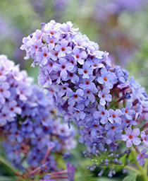 Butterfly Bush Buzz Sky Blue  - Buddleia davidii -  lg pot
